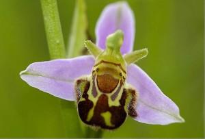 PONCHON NATURE RANDONNEES 2014 dans Actualités ophrys-apifera1-300x203